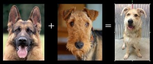 alsation airedale mix