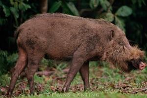 borneo pig